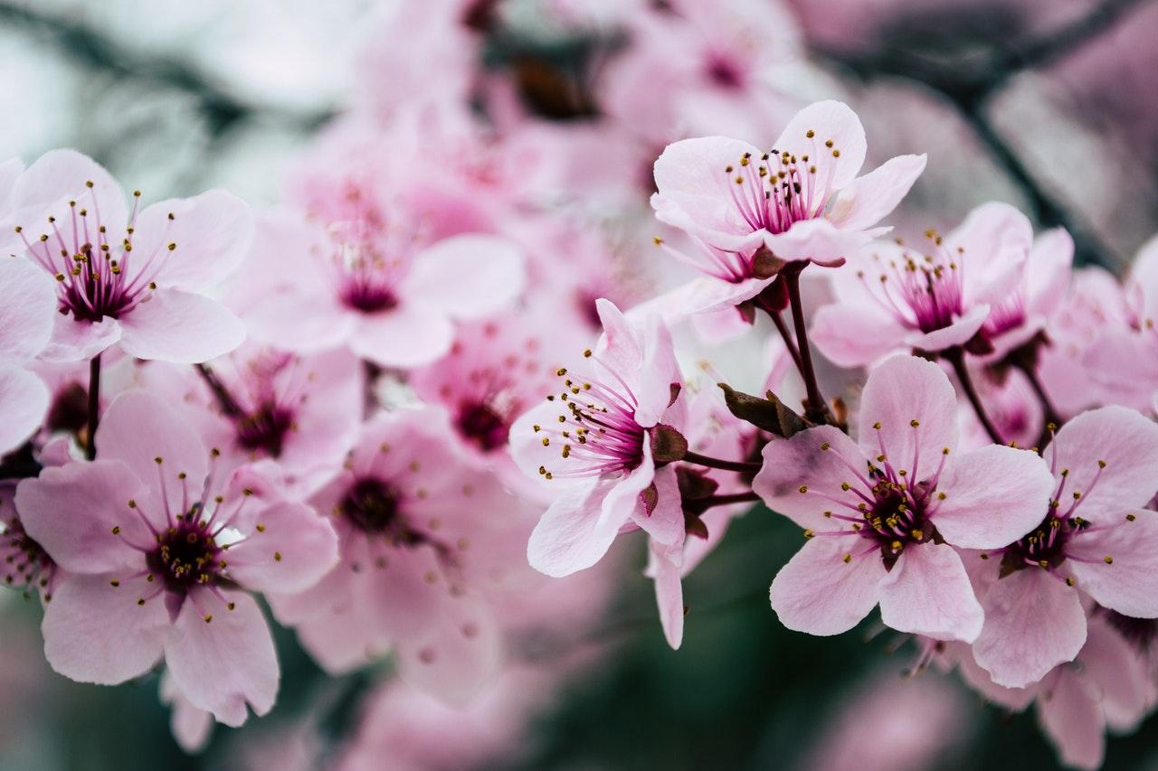 Best Germination Techniques For Sakura Seeds Cherry Blossom Greenhouse Fanatics
